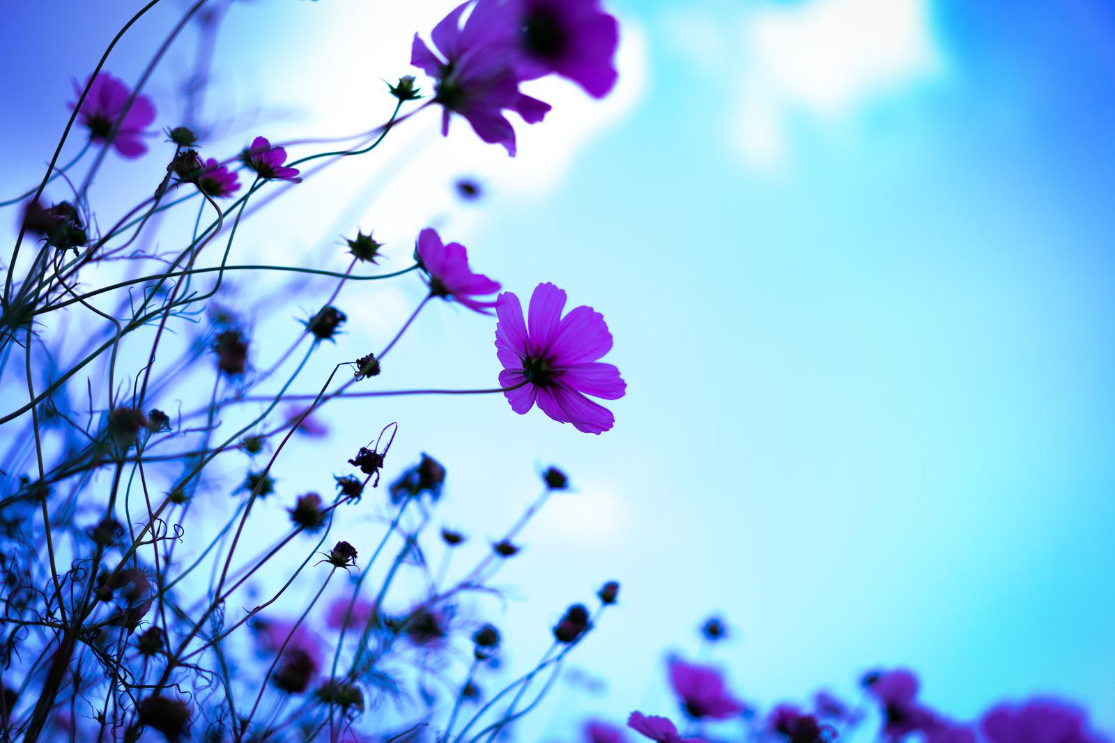 「青空に浮かぶコスモスの花」の写真