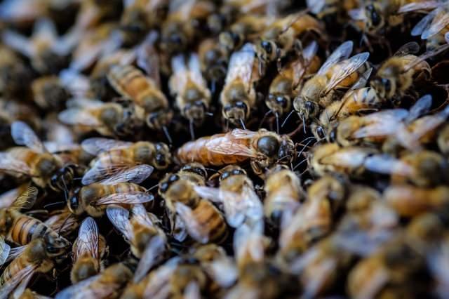 女王蜂を囲む蜜蜂の大群の写真