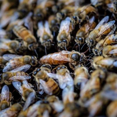「女王蜂を囲む蜜蜂の大群」の写真素材