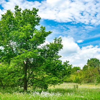青空と生気溢れる大きな木の写真