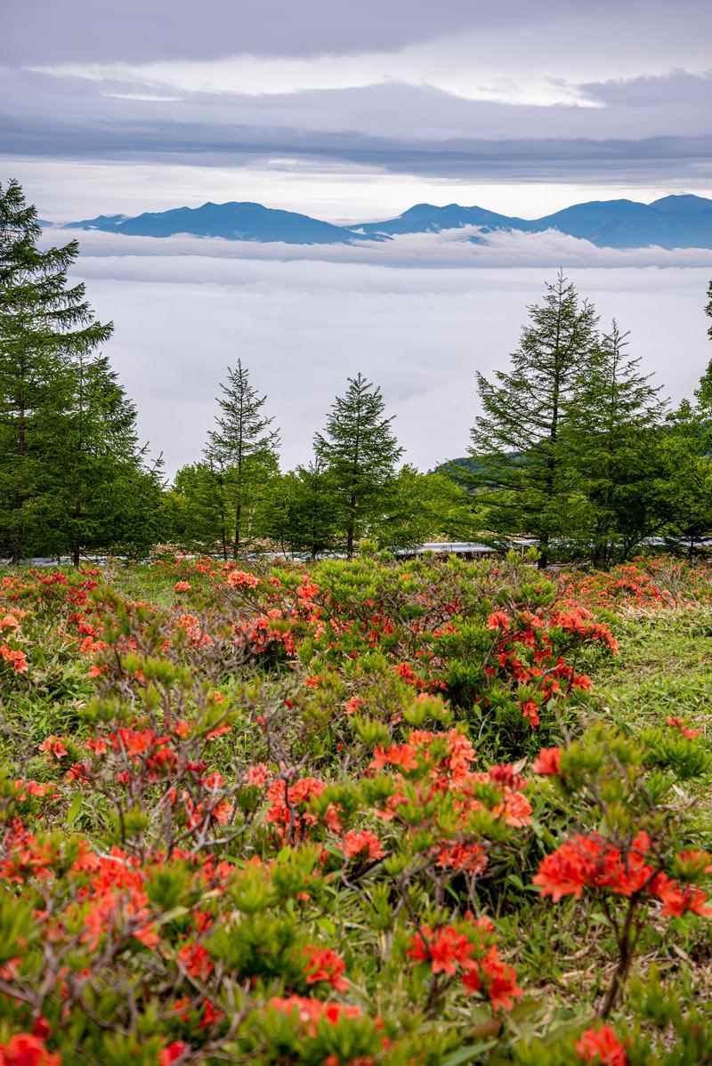 「美ヶ原の雲海とレンゲツツジ」の写真