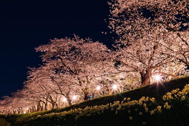 角館桧木内川堤防の夜桜の写真