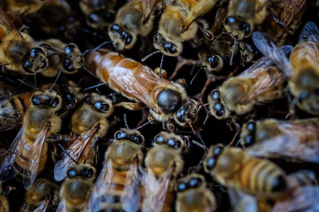 女王蜂を取り囲む働き蜂、ロイヤルコートの様子の写真