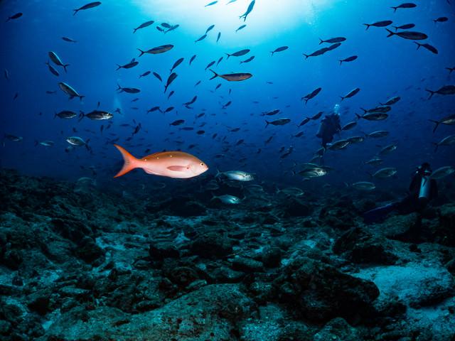 ラパスを泳ぐ魚の群れの中にいるパシフィッククレオレフィッシュ(メキシコ)の写真