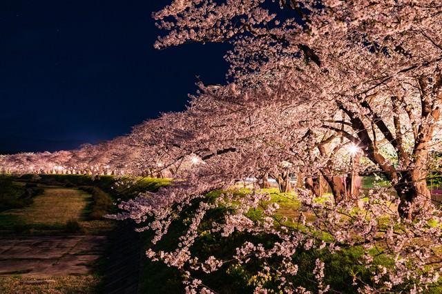 角館桧木内川堤防沿いの夜桜並木の写真