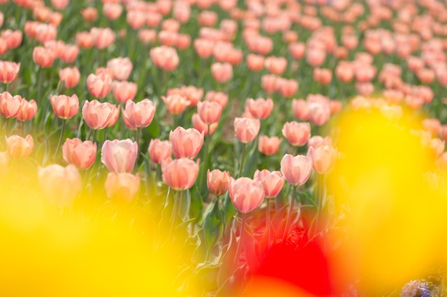 チューリップ畑の写真