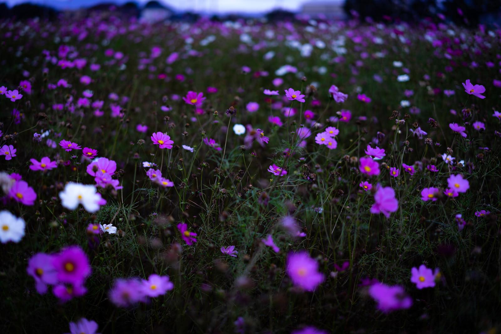 「咲き終えたコスモスと満開のコスモス」の写真