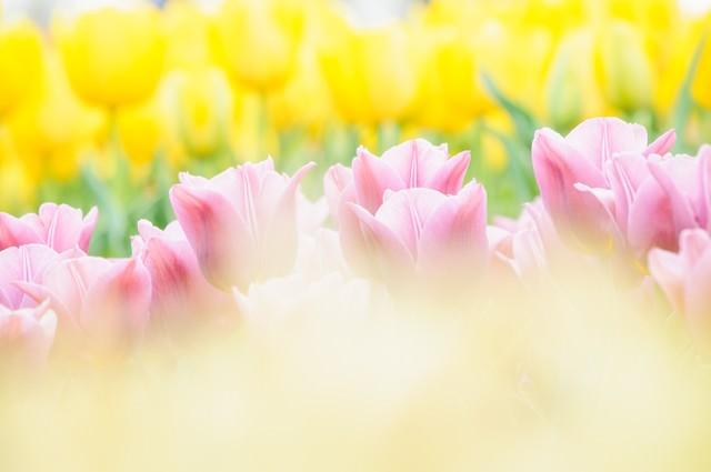 春の光(チューリップ )の写真