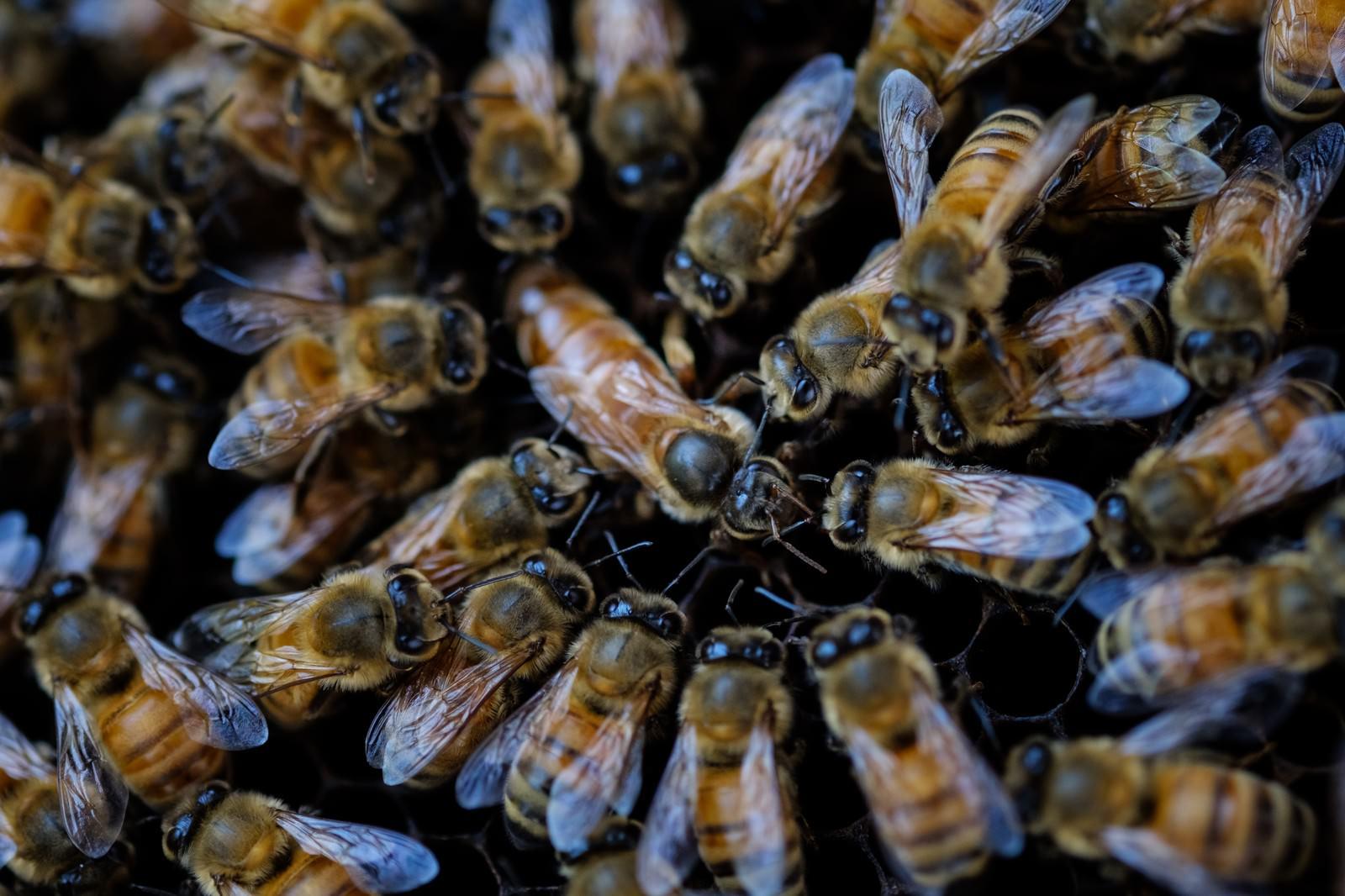 「女王蜂を取り囲む働き蜂(養蜂)」の写真