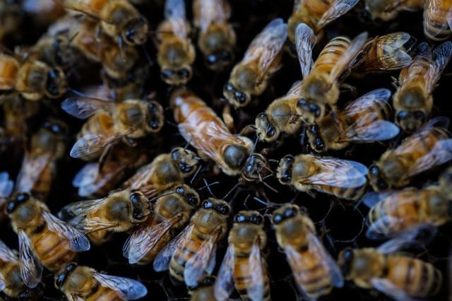 女王蜂を取り囲む働き蜂(養蜂)の写真