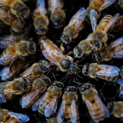 「女王蜂を取り囲む働き蜂(養蜂)」の写真素材
