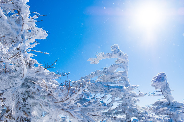 「日差しが透けて煌めく雪と霧氷」のフリー写真素材