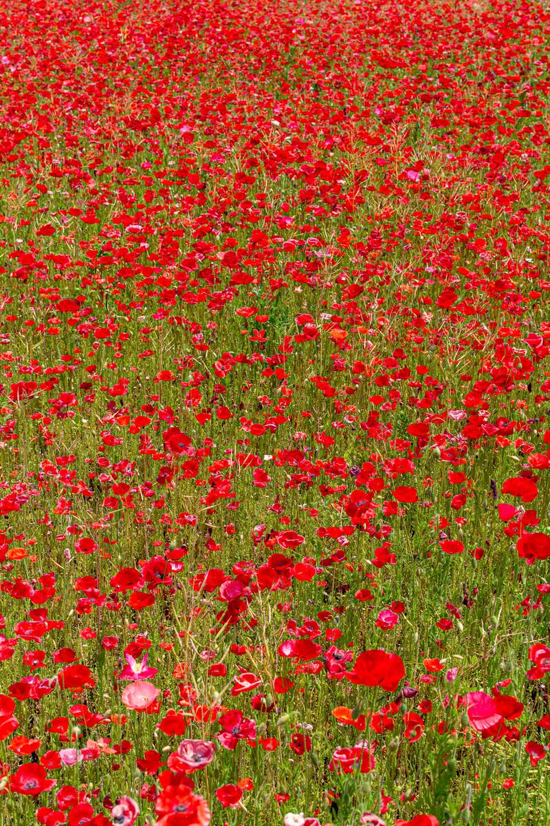 「一面の赤いポピーの花」の写真