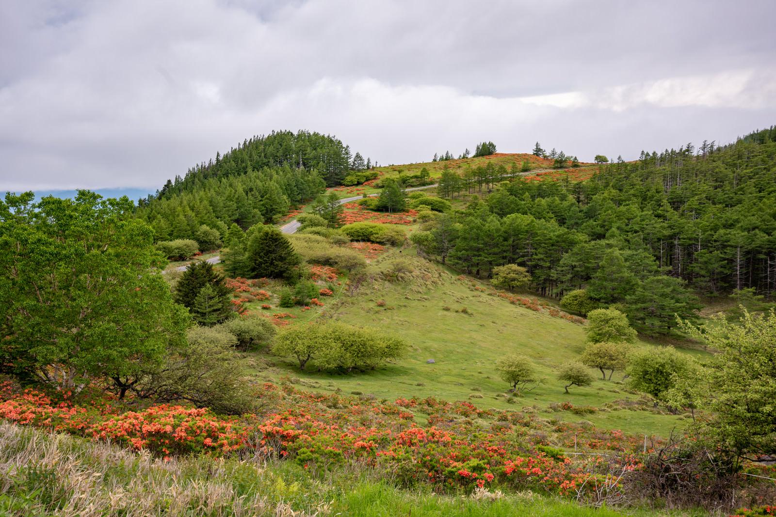 「高原に咲くレンゲツツジ(美ヶ原)」の写真