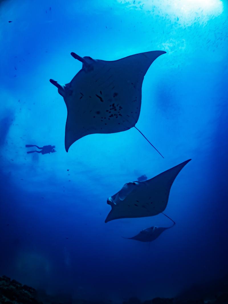 「ダイバーと共に泳いでいくマンタ」の写真