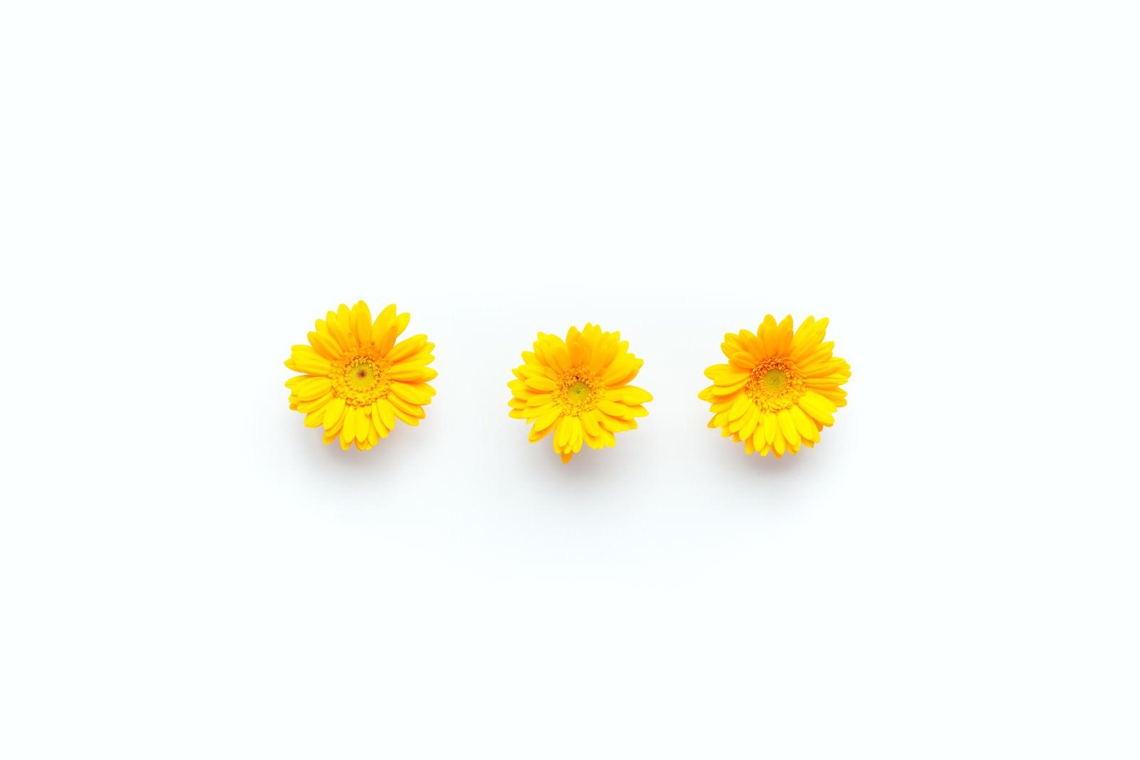 「黄色のガーベラ(3つ)黄色のガーベラ(3つ)」のフリー写真素材を拡大