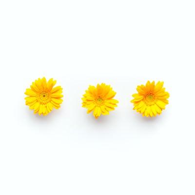 「黄色のガーベラ(3つ)」の写真素材