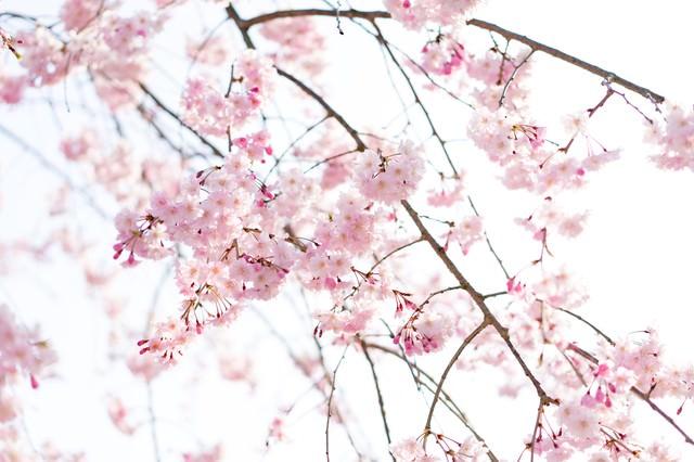 さくらの花の写真