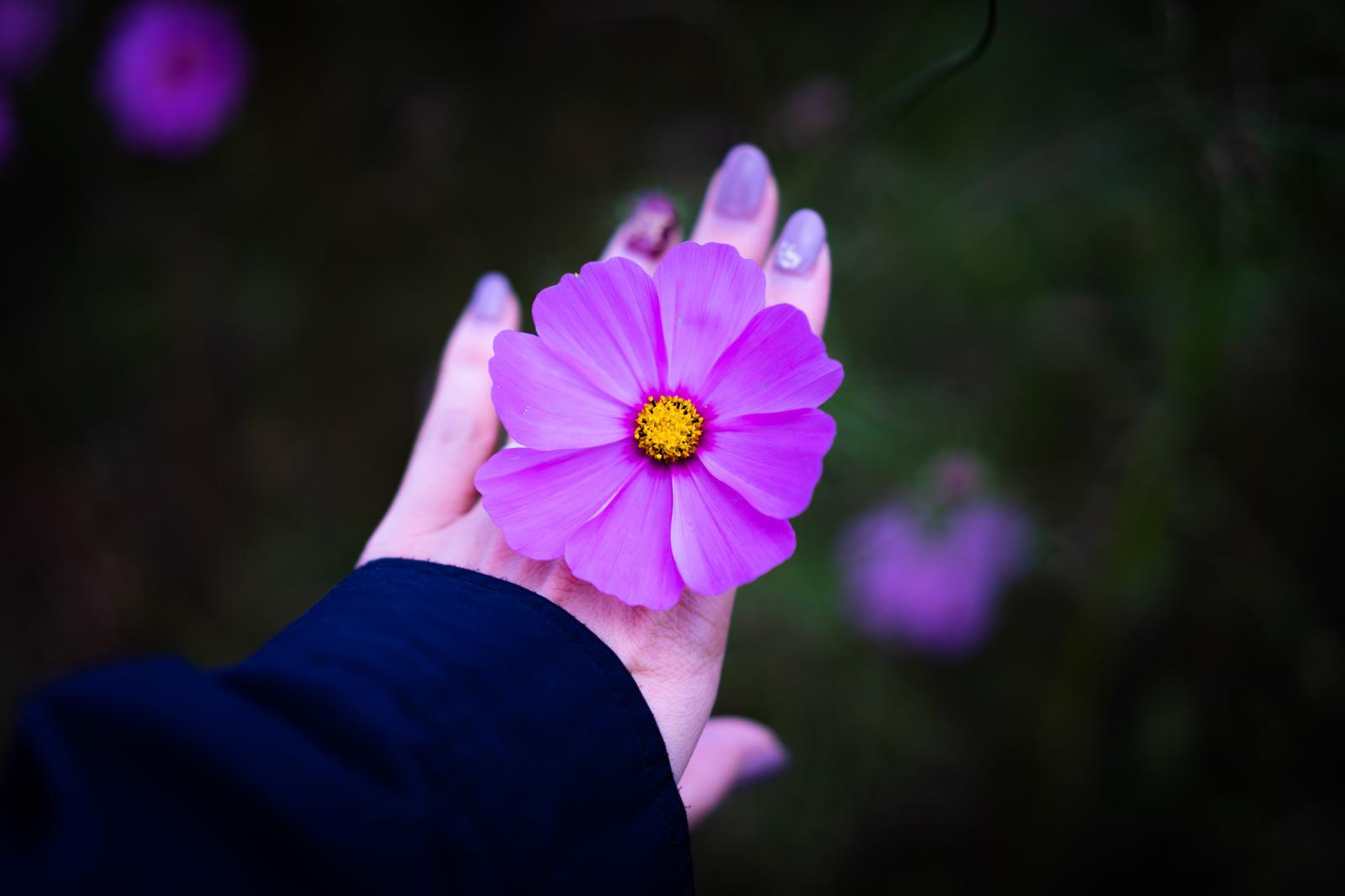 「手のひらとコスモスの花」の写真