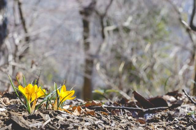 春を告げるクロッカスの写真