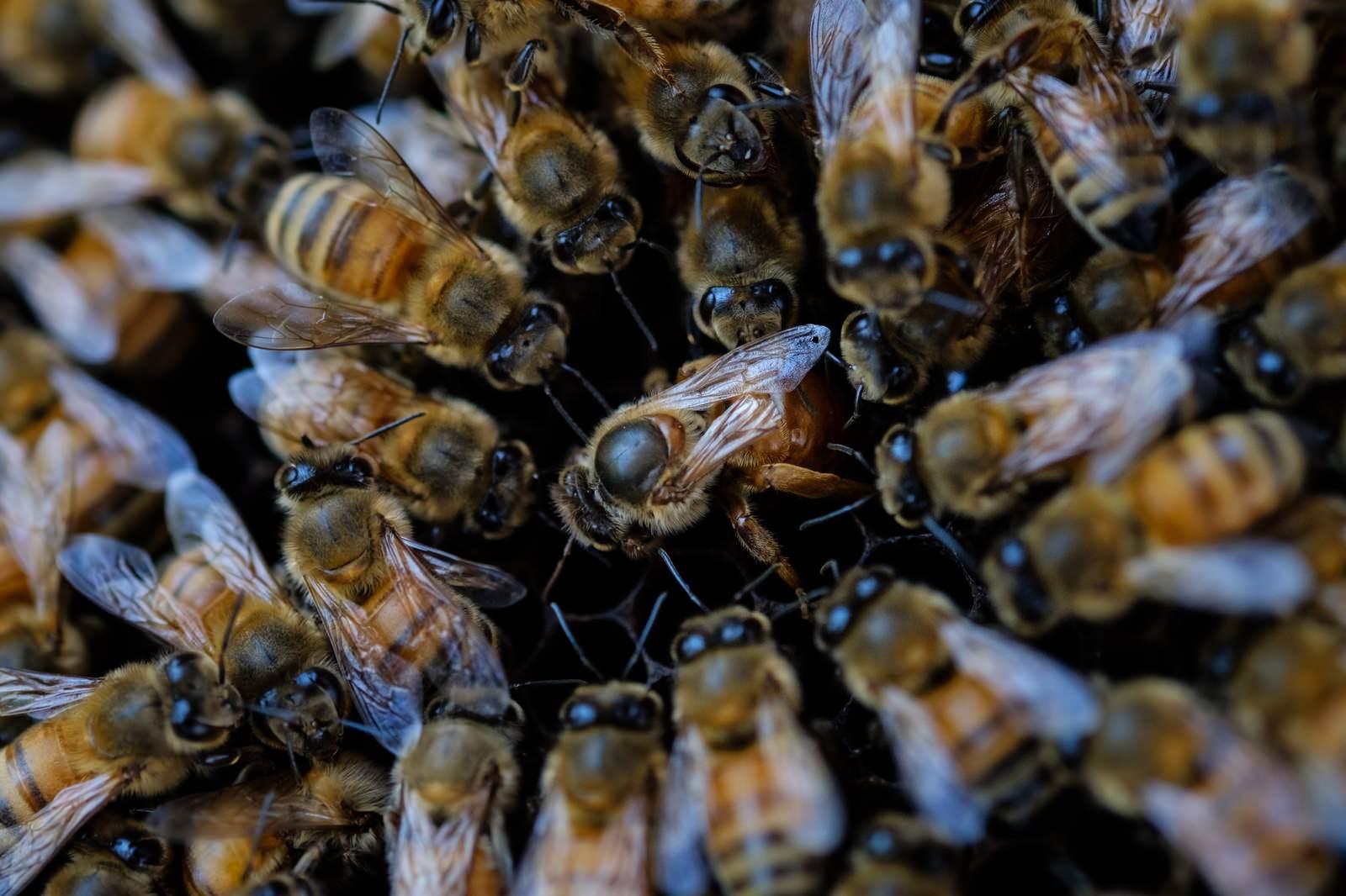 「ミツバチ(セイヨウミツバチ)ロイヤルコート」の写真