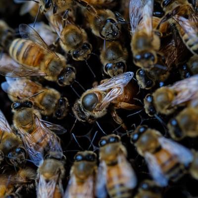 ミツバチ(セイヨウミツバチ)ロイヤルコートの写真