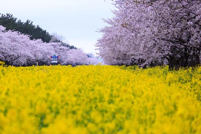 桜と菜の花の境界線の写真