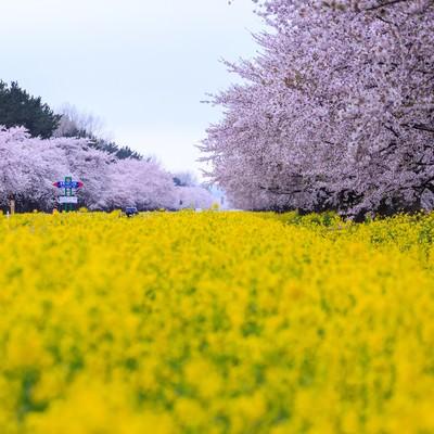 「桜と菜の花の境界線」の写真素材