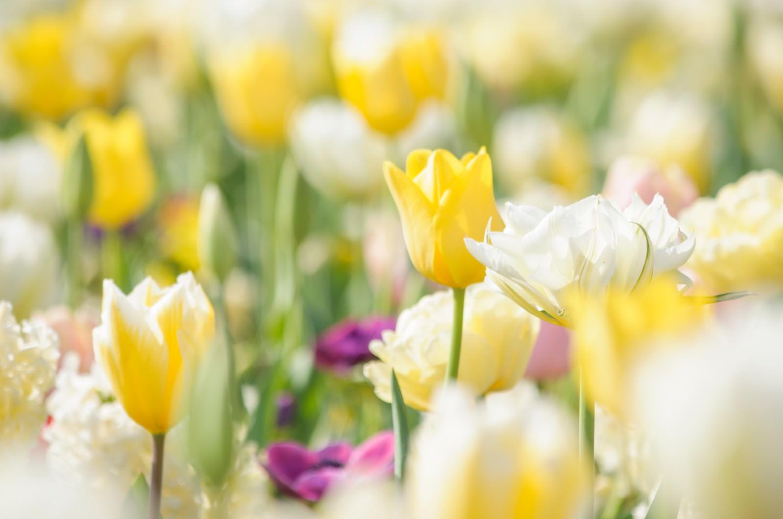 黄色のチューリップの花