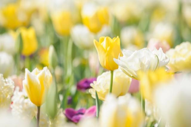 春色花壇(チューリップ)の写真
