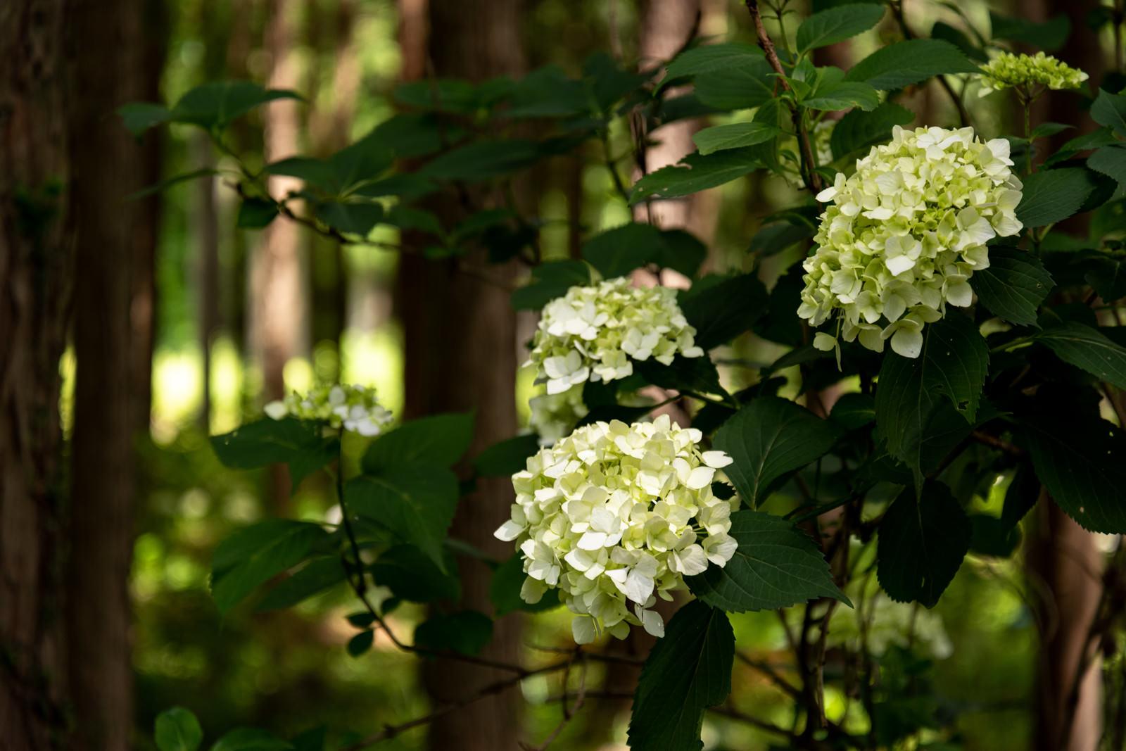 「森の中の紫陽花(アジサイ公園)」の写真