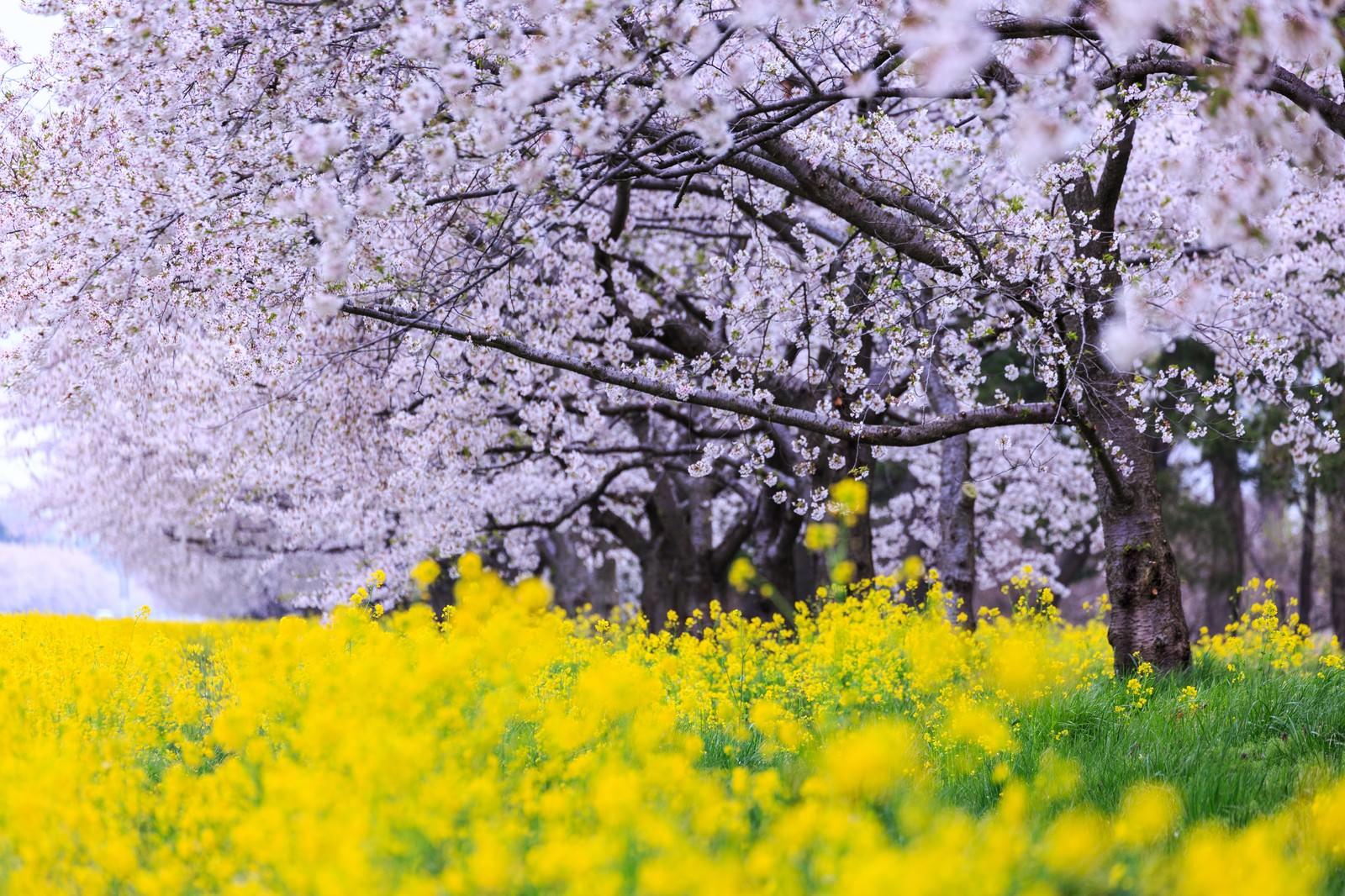 「大潟村菜の花ロード大潟村菜の花ロード」のフリー写真素材を拡大