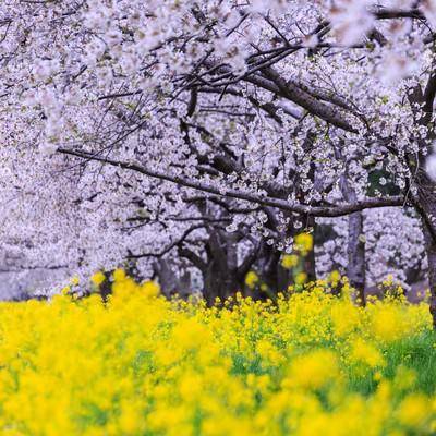 大潟村菜の花ロードの写真