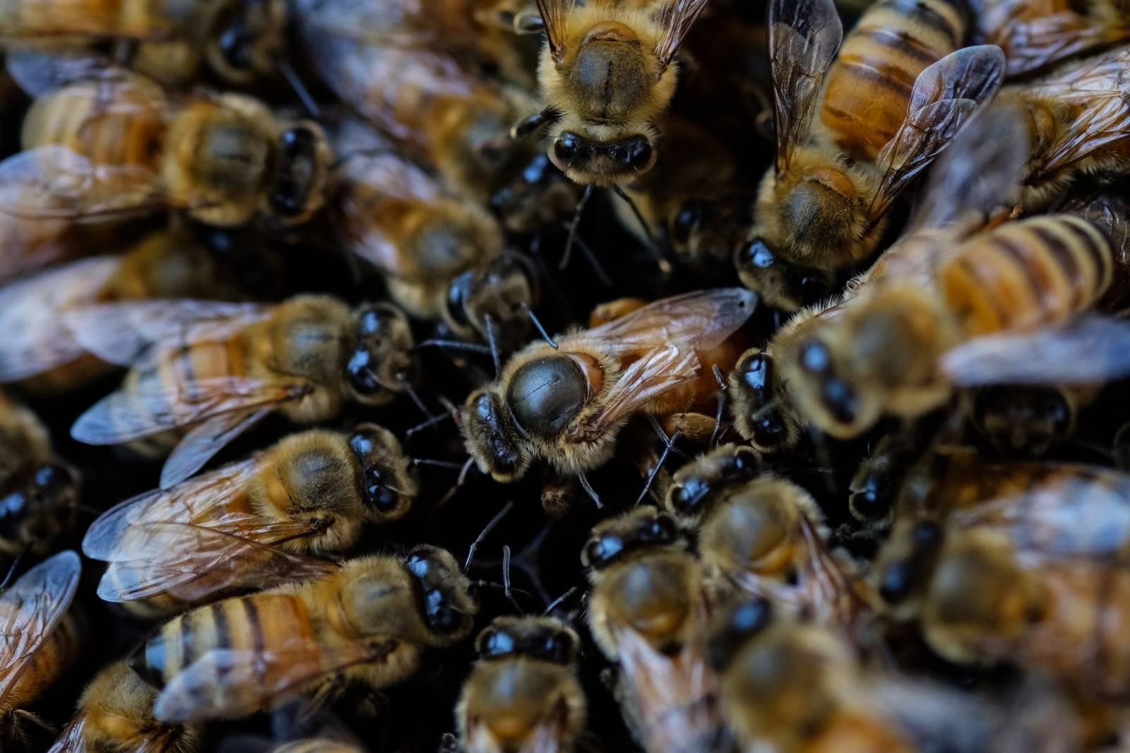 「産卵中の女王蜂(中央)」の写真