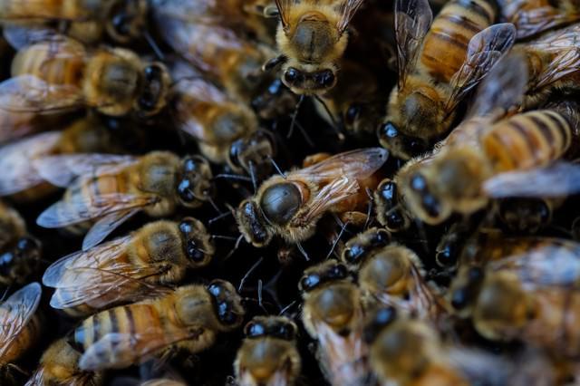 産卵中の女王蜂(中央)の写真