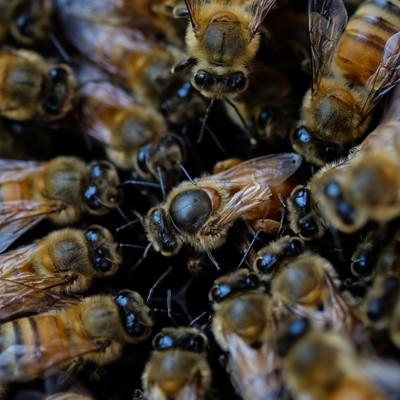 「産卵中の女王蜂(中央)」の写真素材