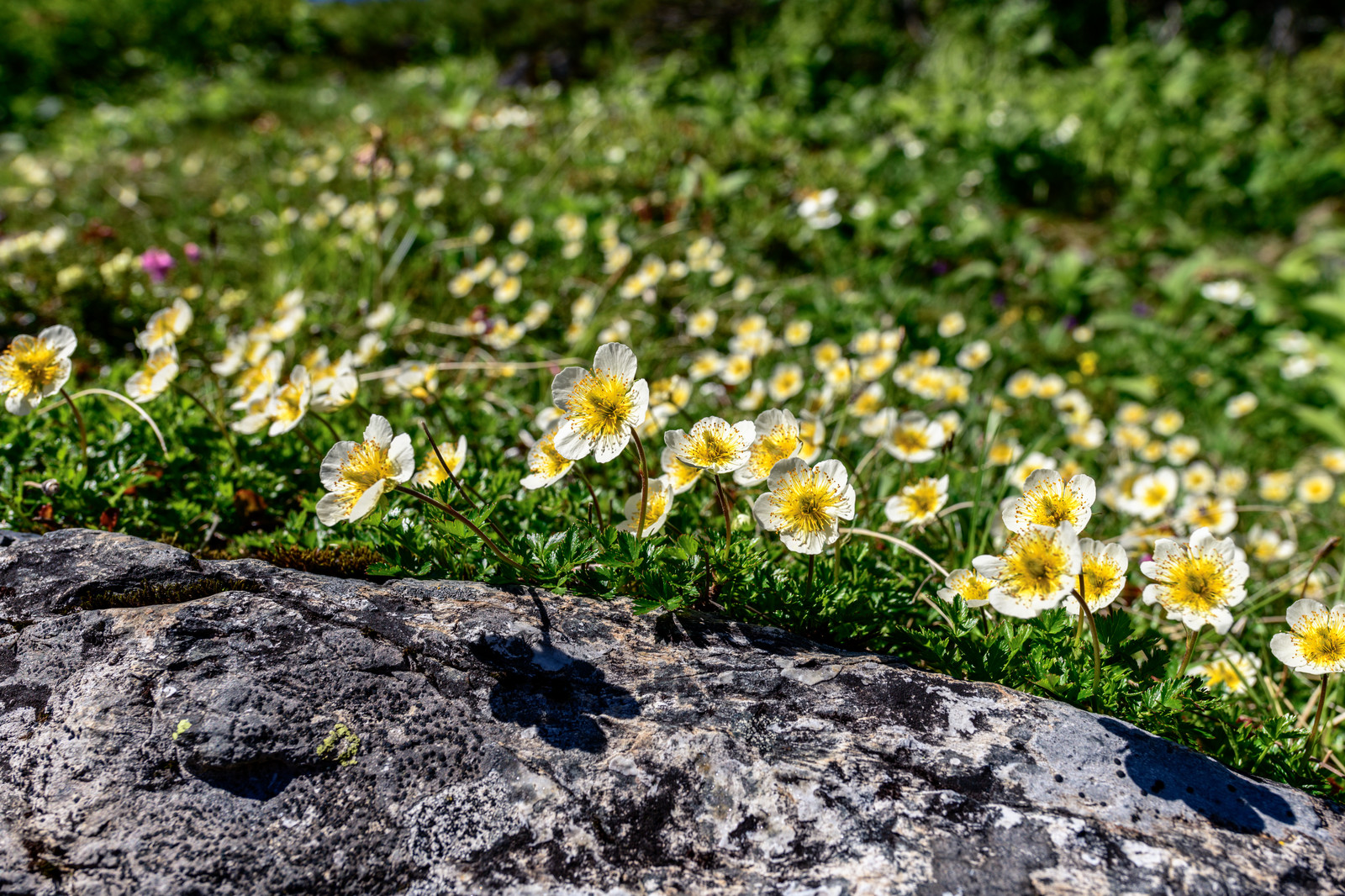 「チングルマの群生(高山植物)」の写真