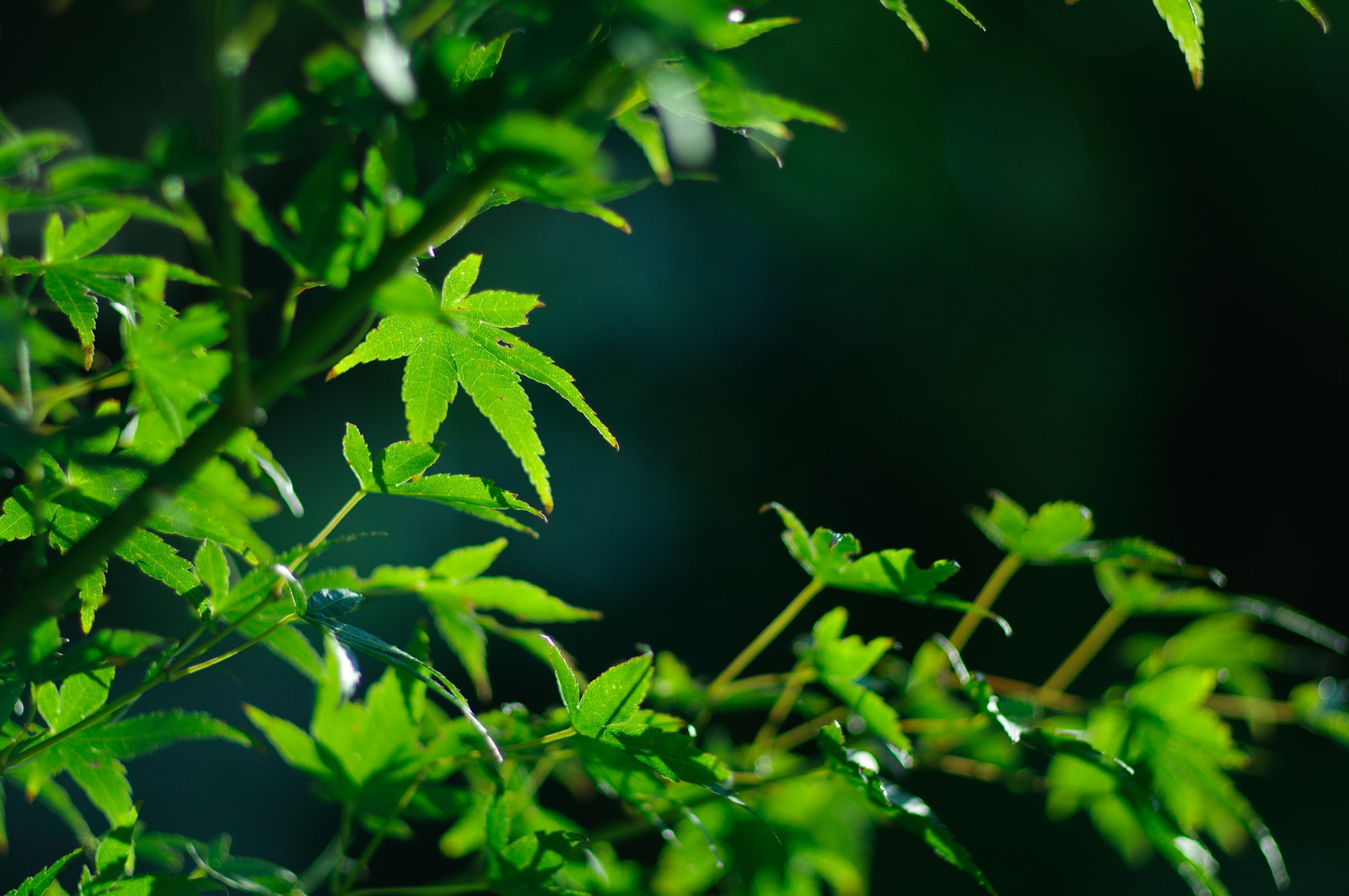 「新緑の青もみじ」の写真