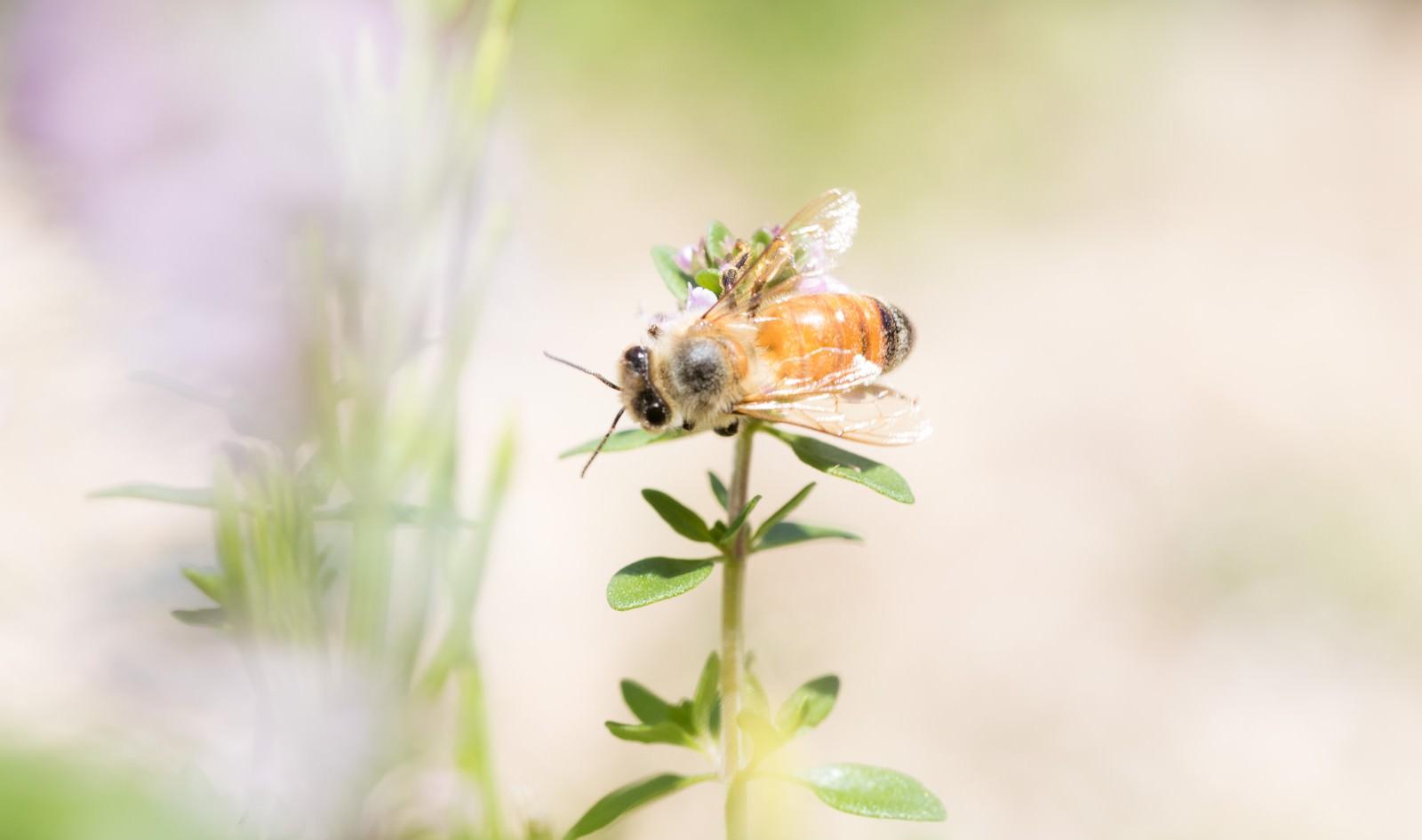 「ハーブに吸蜜に来たミツバチ」の写真