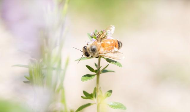 ハーブに吸蜜に来たミツバチの写真