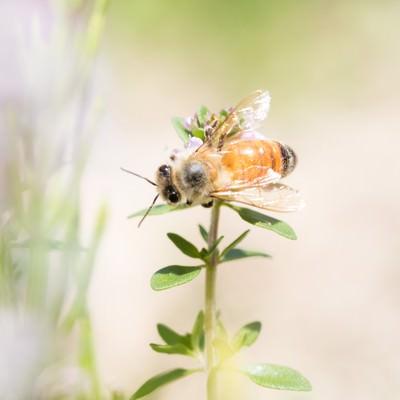 「ハーブに吸蜜に来たミツバチ」の写真素材