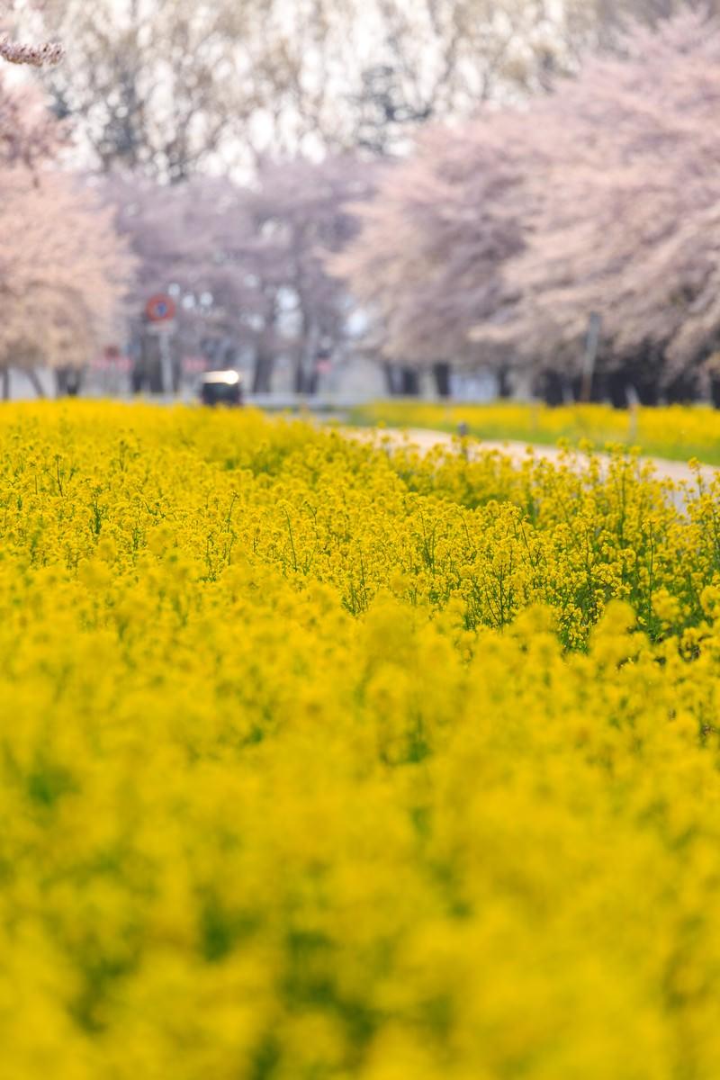 「春に包まれる春に包まれる」のフリー写真素材を拡大