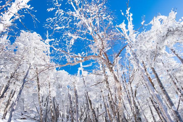 蓼科山の森林限界付近の霧氷の写真
