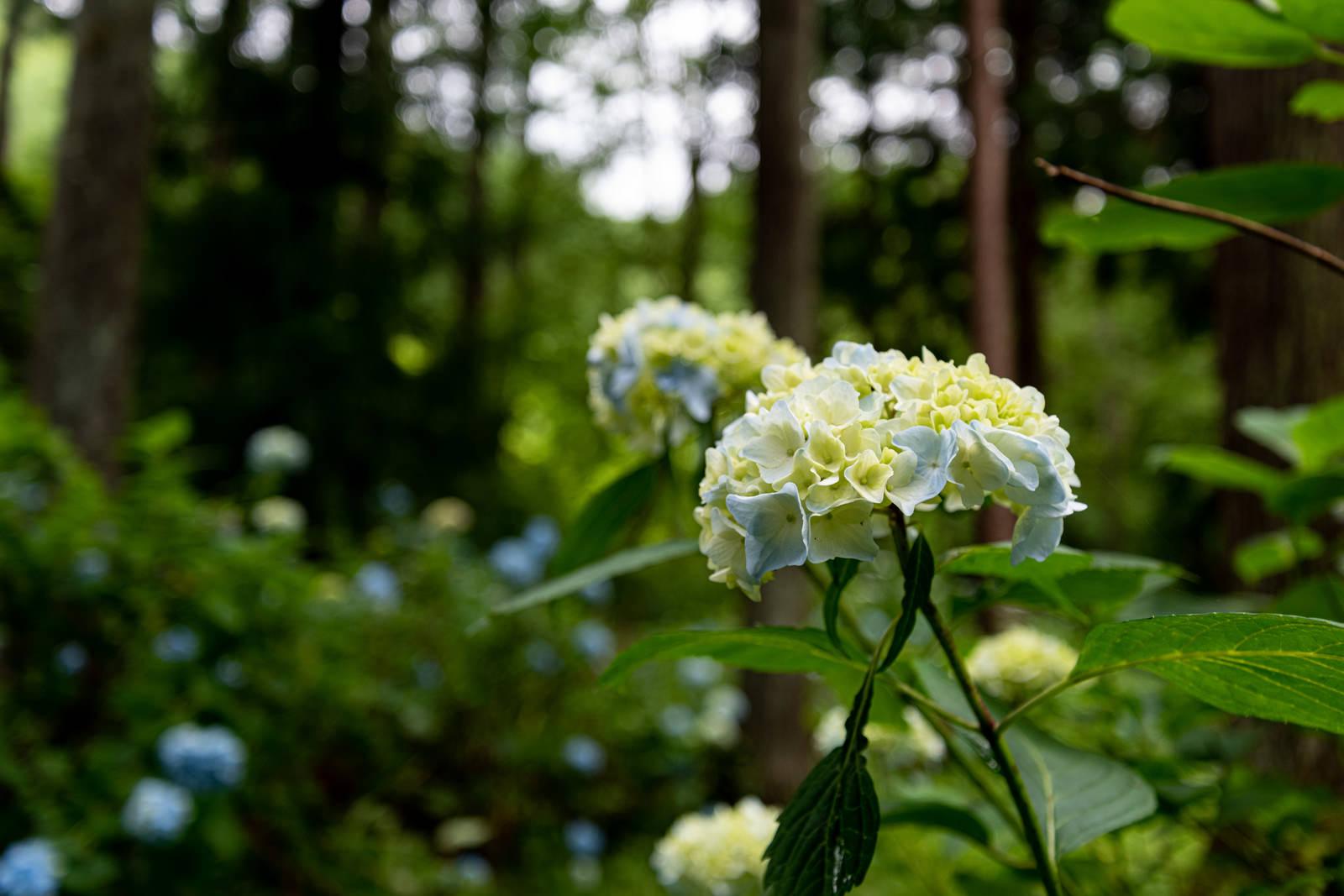 「山道沿いに咲く紫陽花(アジサイ公園)」の写真