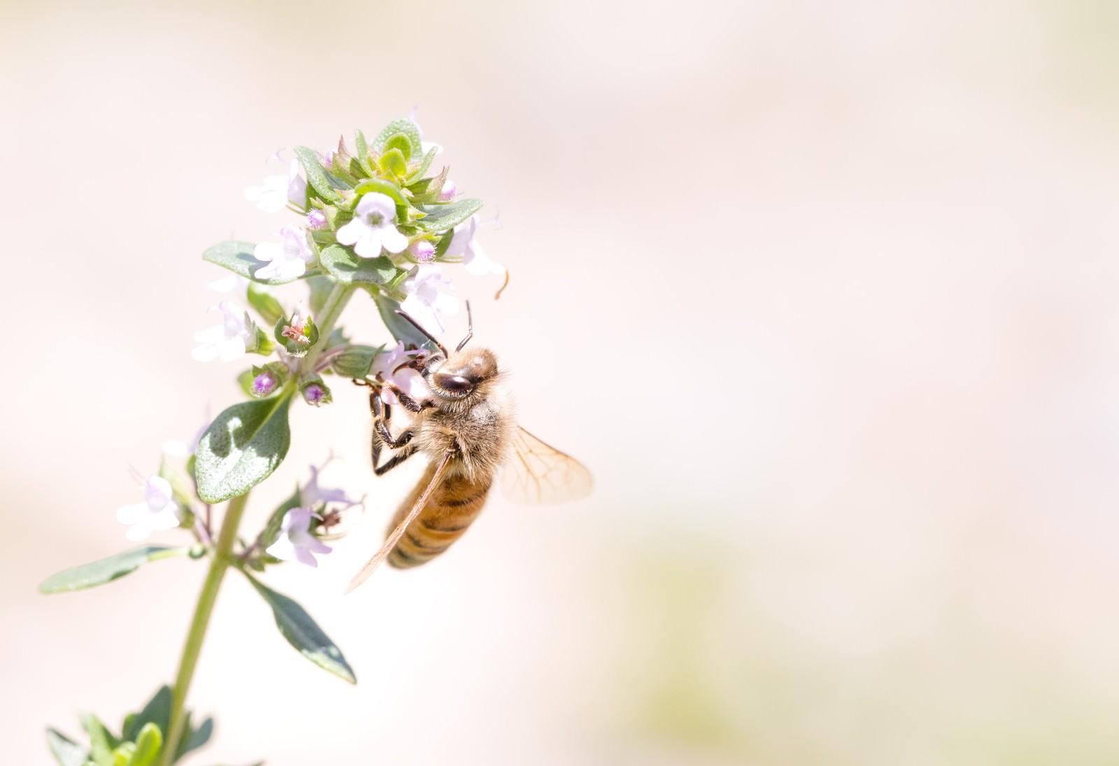 「吸蜜中のミツバチ」の写真