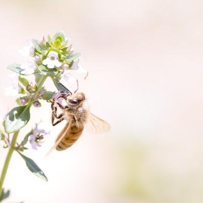 「吸蜜中のミツバチ」の写真素材