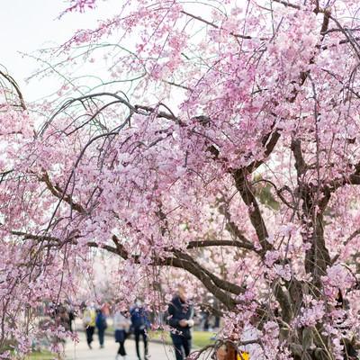満開の桜と大濠公園(福岡)の花見の写真