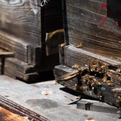「巣箱の入り口とミツバチ」の写真素材