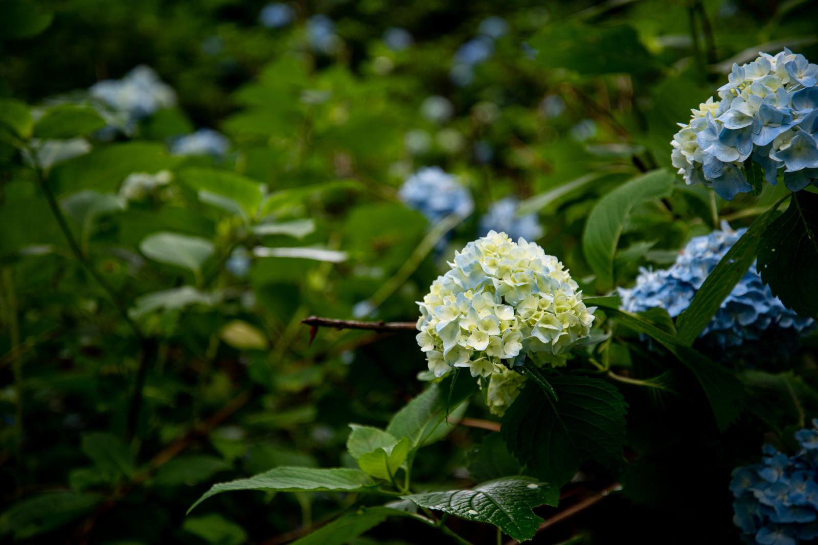 「ふっくらとした花序の紫陽花(アジサイ公園)」の写真