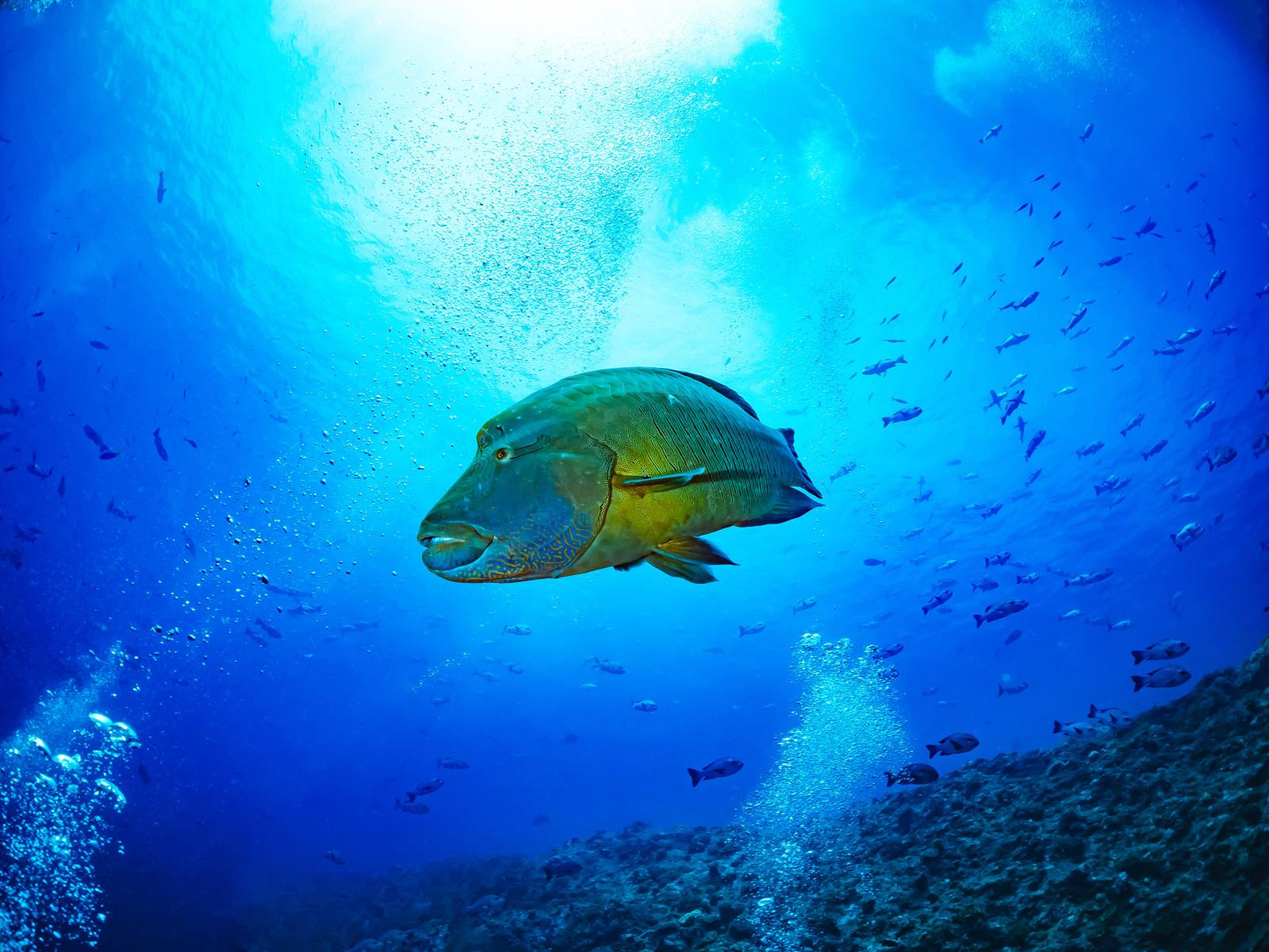 「優雅に泳ぐナポレオンフィッシュ(メガネモチノウオ)」の写真